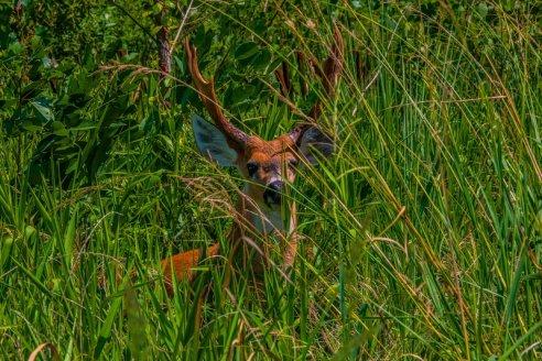 Manadas de ciervos exóticos empiezan a dominar campos entrerrianos