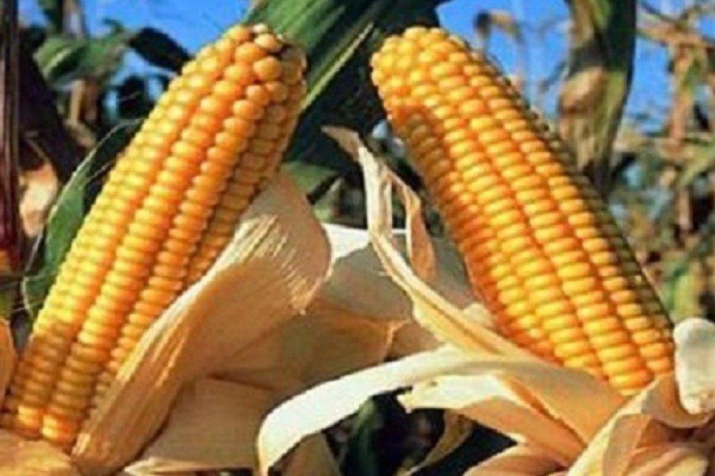 Por cuarto año consecutivo, creció el área sembrada con maíz de 1era en E.Ríos