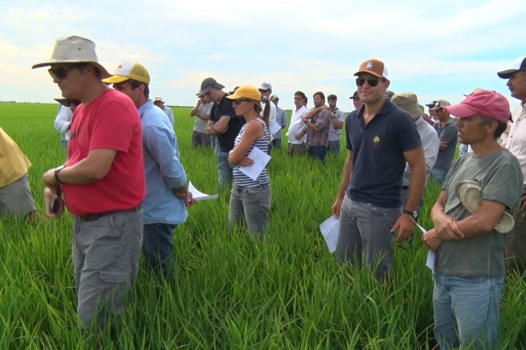 Ensayos de potasio sobre cultivos de arroz en suelo entrerriano