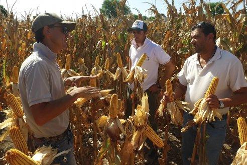 AGROFE CAMPO volvió a mostrar los ensayos de maíz en dos lotes de Colonia Ensayo
