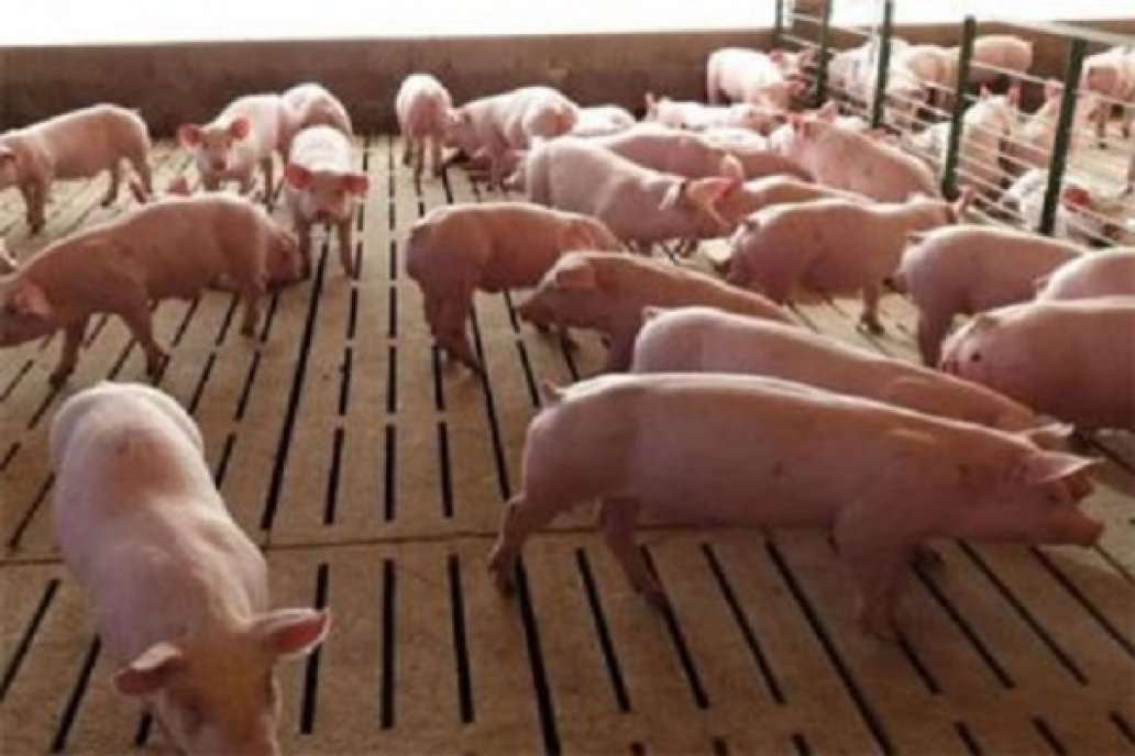 Para Juan Uccelli: Los márgenes del negocio porcino invitan a la inversión