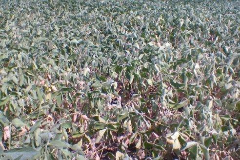 Entre Ríos: Números en rojo para la soja