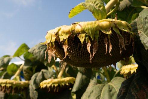 Se viene el remate del primer lote de girasol de la cosecha 2020/2021