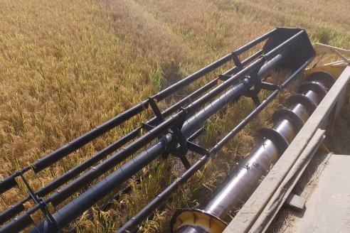 Cosecha de arroz con buenos resultados en el Departamento Uruguay