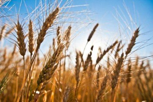 Crearon dos variedades de trigo y aguardan la aprobación del INASE