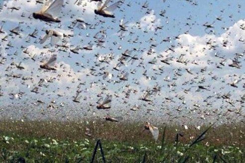 Volvieron las langostas y atacan campos chaqueños