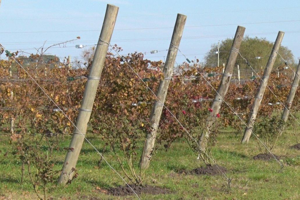 Finca Los Bayos: producción de viñedos y pecán con manejo ecológico