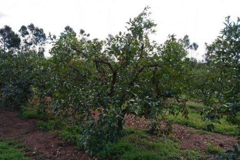Preparando árboles cítricos para la próxima campaña
