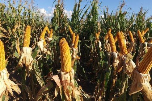 La provincia incentiva la siembra de maíz