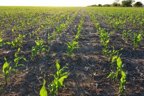 Las lluvias impactaron positivamente para el maíz de primera