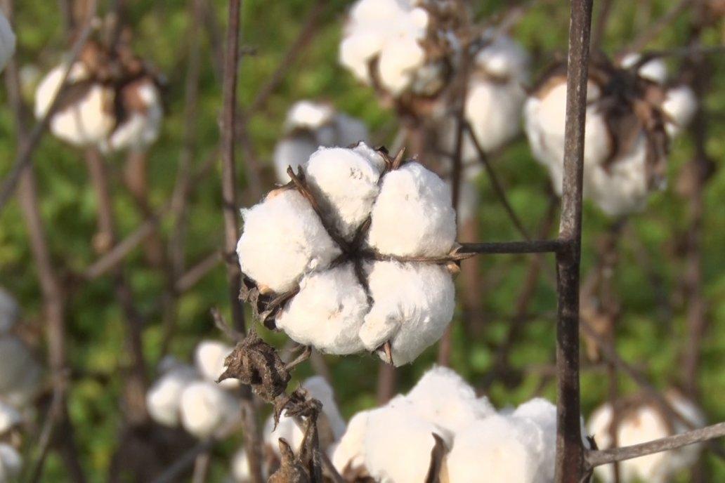 """""""El algodón es un cultivo que se puede hacer en pocas hectáreas comentó Musso"""