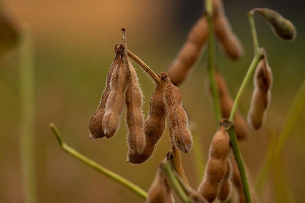 A cosecha, Basaldúa prevé una merma de rindes de entre el 10% y el 12%.
