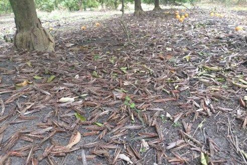 Buena noticia: se frenó el avance de la manga de langostas en el norte de Entre Ríos