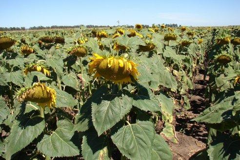 Prevén que se acelere la siembra de girasol y maíz en Santa Fe