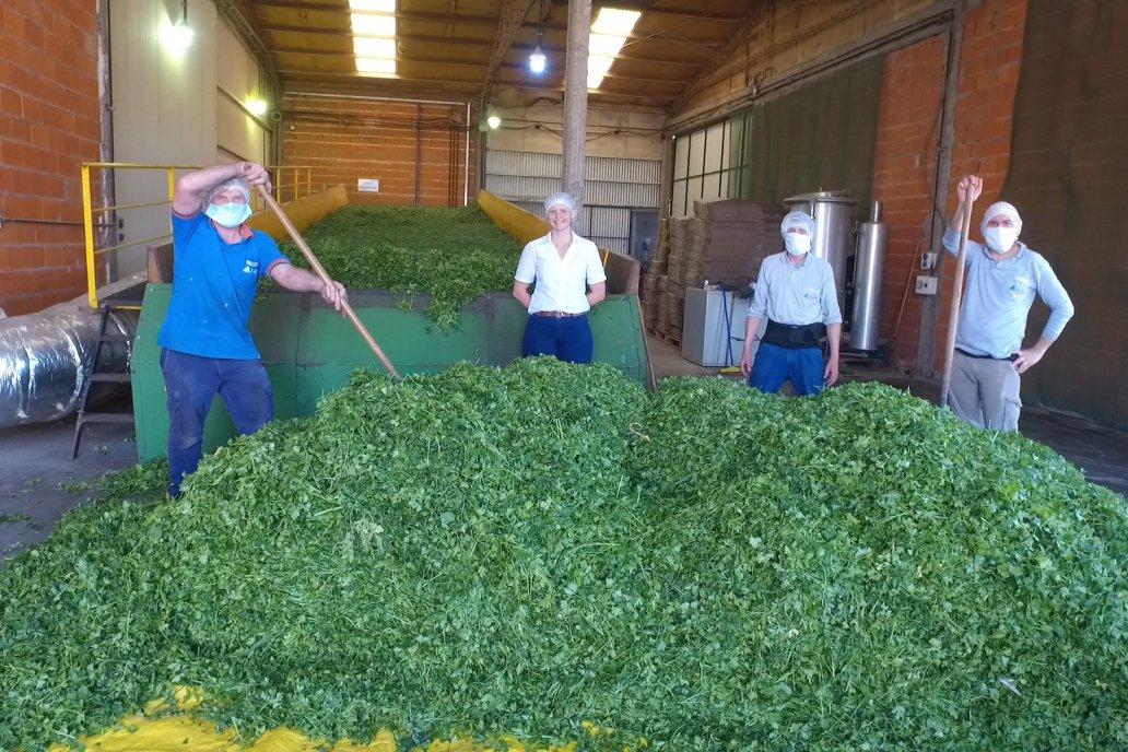 Perejil, una producción alternativa en Entre Ríos