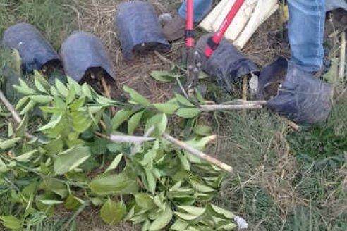 Decomiso y destrucción de 100 plantas cítricas sin documentación sanitaria