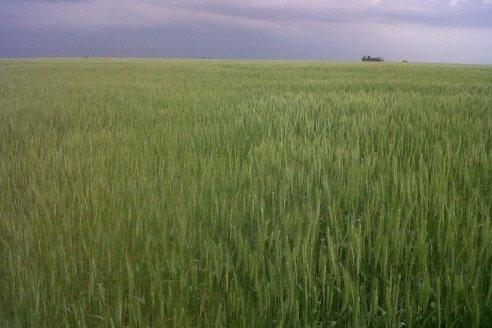 Pautas para maximizar la producción de trigo en Entre Ríos