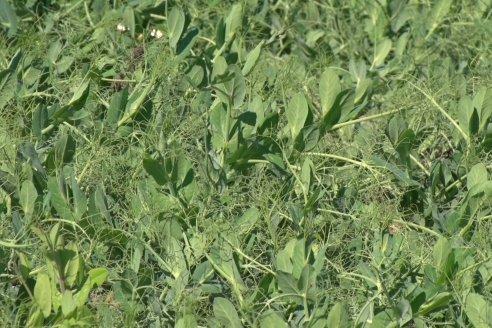 Cultivo de Arveja en Departamento Nogoyá - Ventajas de una correcta inoculación