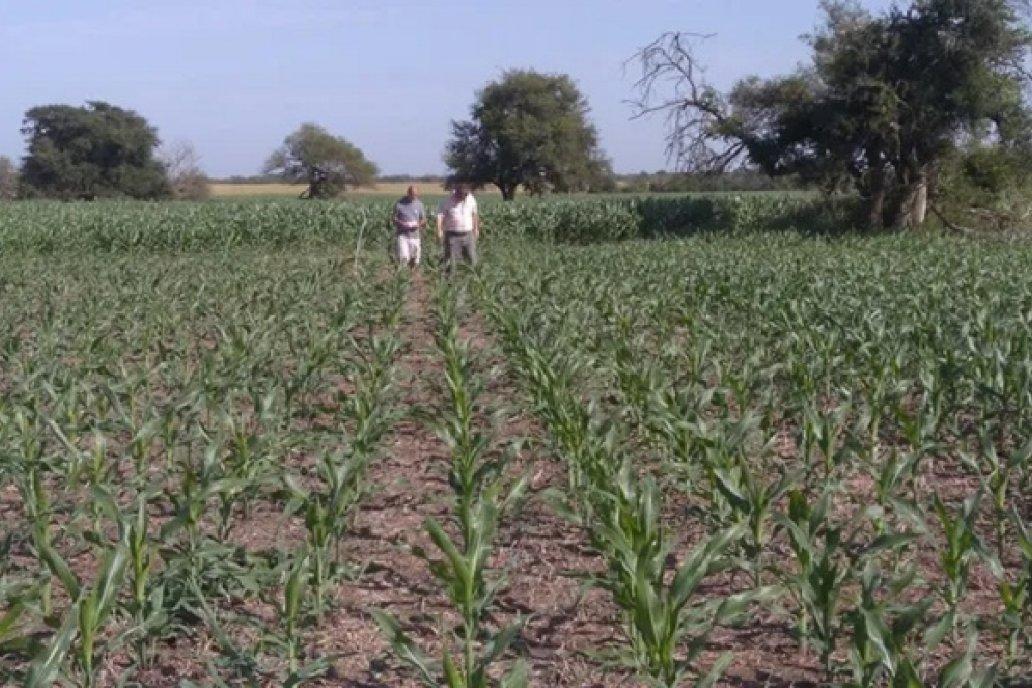 Experiencia maiz tardio en Santa Elena