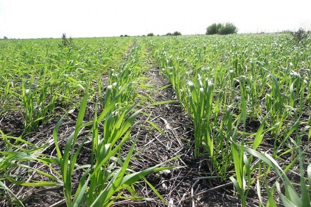¿Cuál es la condición del cultivo de trigo en Entre Ríos?