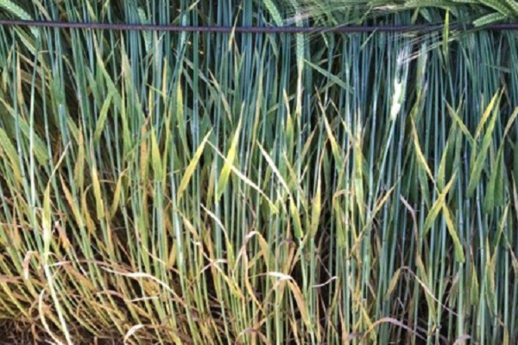 Fungicida Trile Mezcla