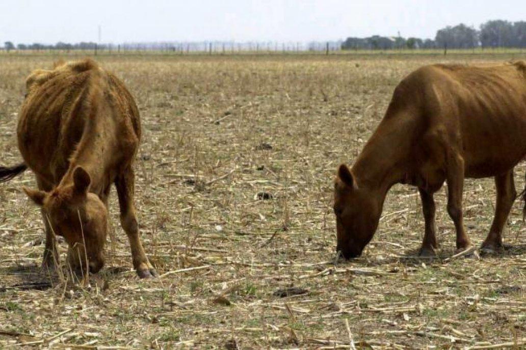 La falta de pasto está complicando el ciclo ganadero en algunas zonas
