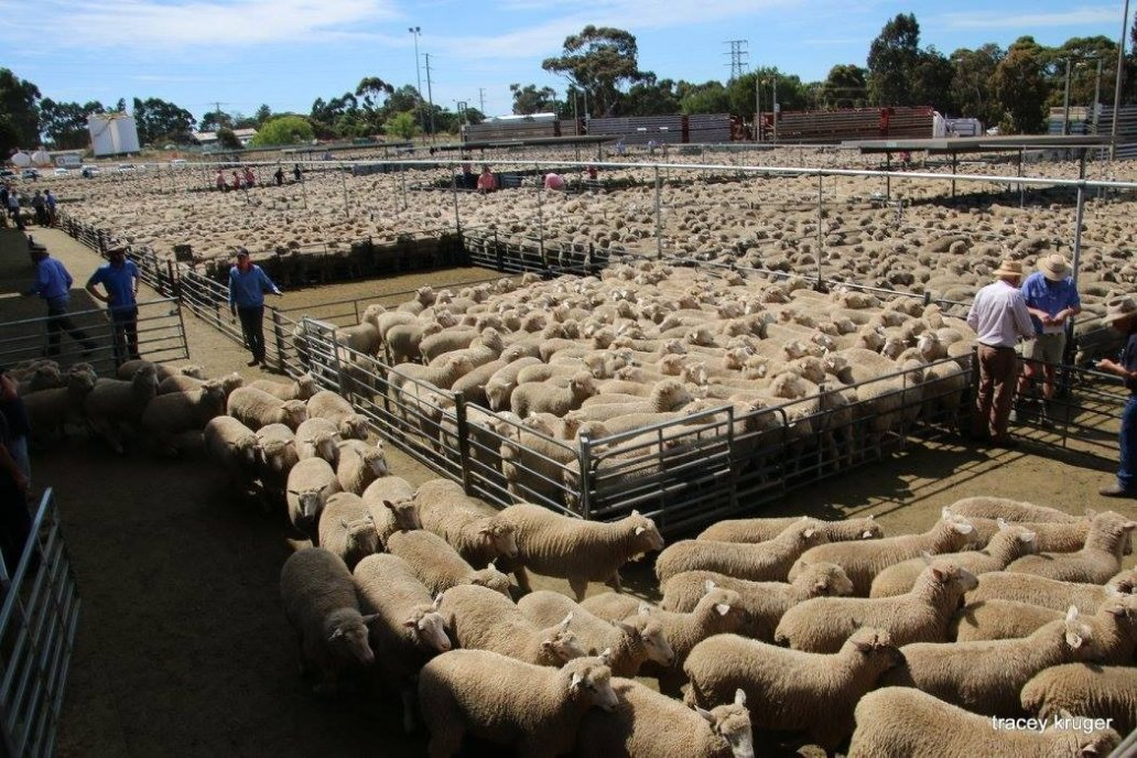 Se está desarrollando un espacio para 1.000 ovinos en el Mercado Agroganadero