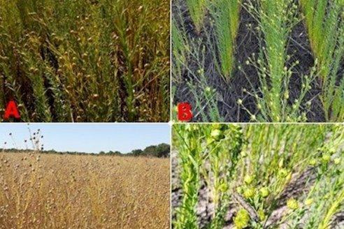 Se largo la cosecha de colza en suelo entrerriano