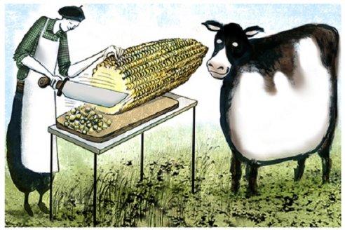 Cuál es la ganancia de peso según el procesado del grano en el feedlot