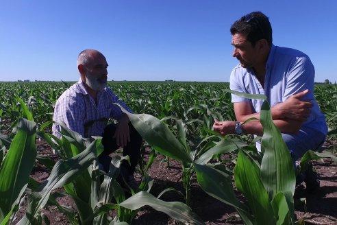 El maíz arrancó bien en Paraná Campaña