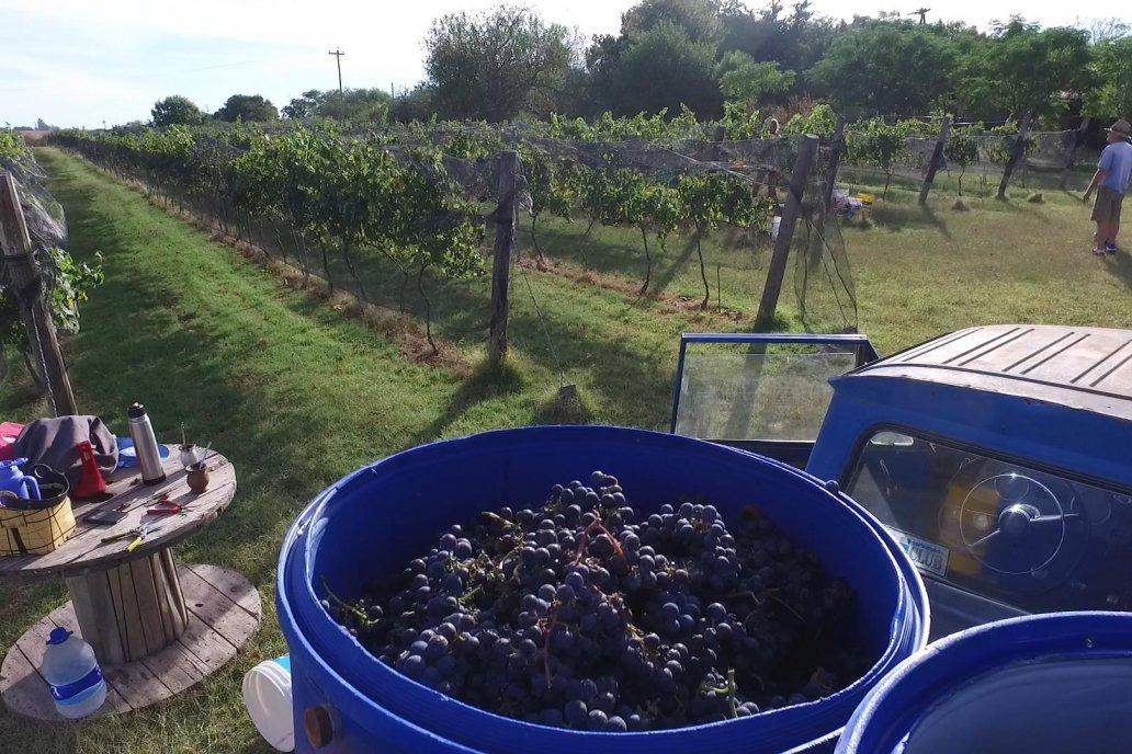 El productor cuenta que no son bodega, que hacen buenos vinos caseros.