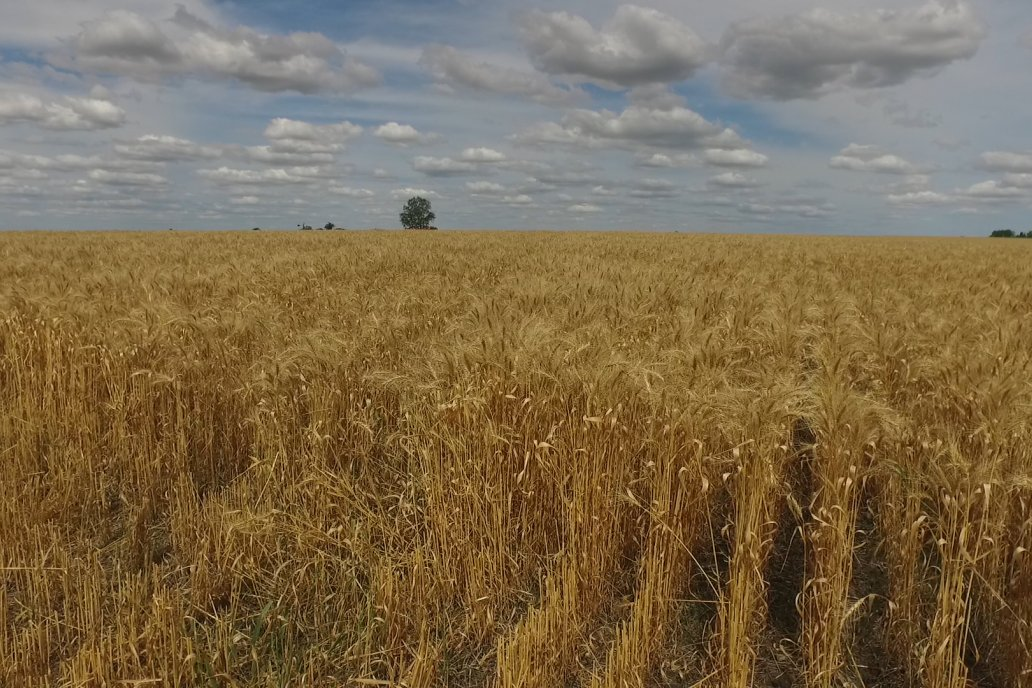 Los granos recogidos dejaron buen peso hectolítrico, proteína y gluten.