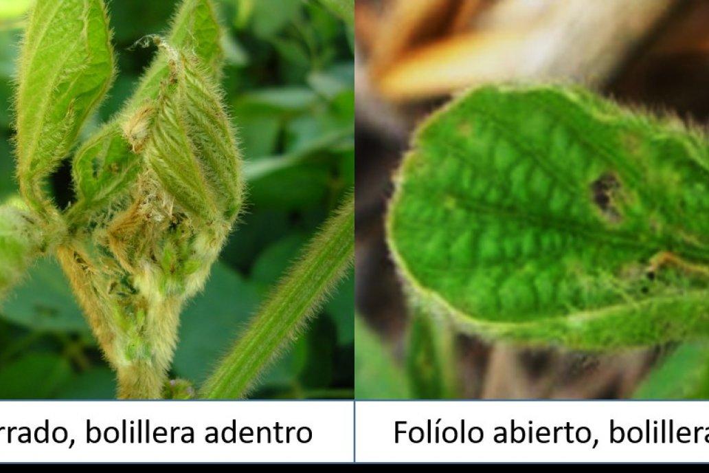 La oruga bolillera en plantas con hidratación óptima está más expuesta a control