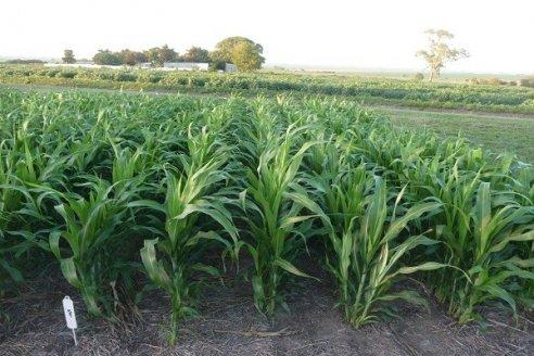 El maíz temprano se encuentra al límite en la región núcleo