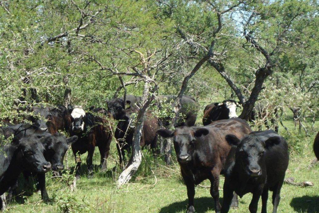 Los sistemas silvopastoriles generan un gran impacto positivo en el rodeo.
