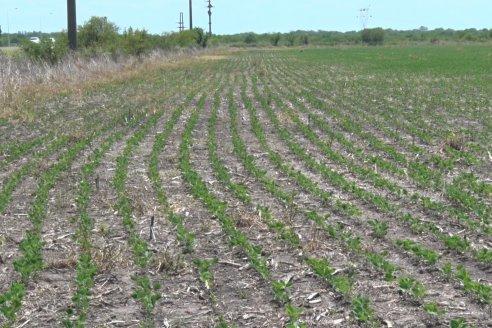Es posta que la soja cederá espacio a otros cultivos como el maíz