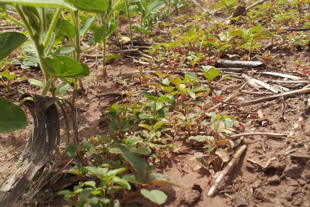 La soja de segunda sembrada en el norte de la región pude recibir humedad.