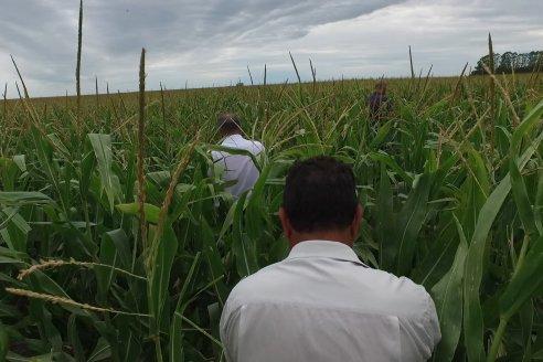 Recorrida Maices en Departamento Paraná KWS Semillas y DINAGRO SRL