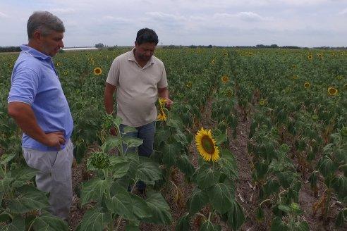 La cosecha de girasol entrerriano trepó hasta las 13.200 toneladas
