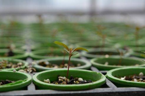 La semilla de Eucalipto peletizada agrega eficiencia al cultivo forestal