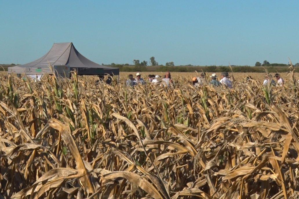 El maíz tempranero aprovechó el agua de enero y no sufre la seca.