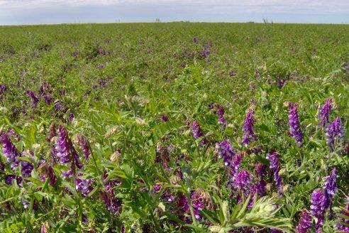 El cultivo de cobertura es el nuevo aliado del sembrador entrerriano