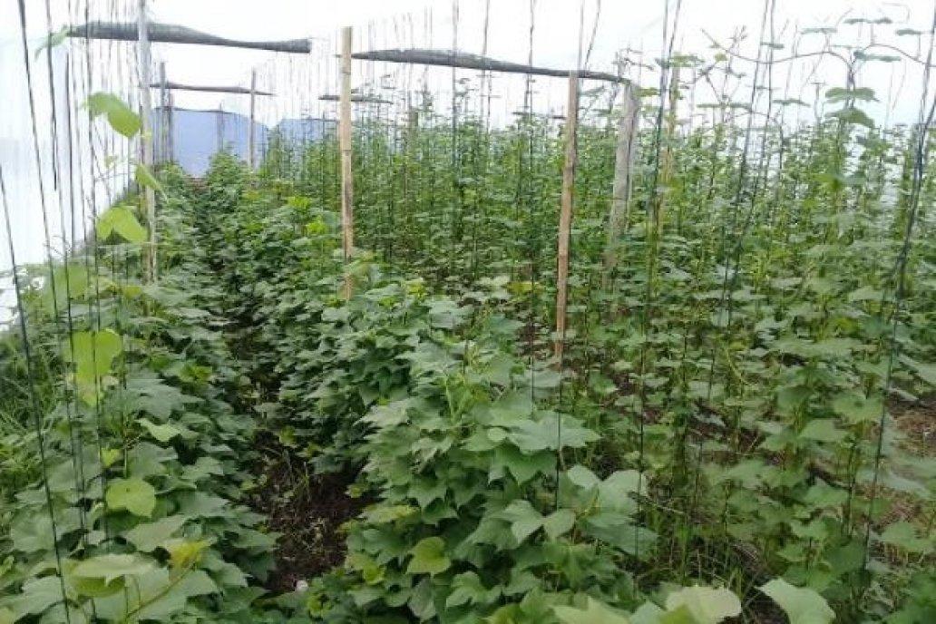 El cultivo de batata es tradicional en Federal como en varias localidades de ER