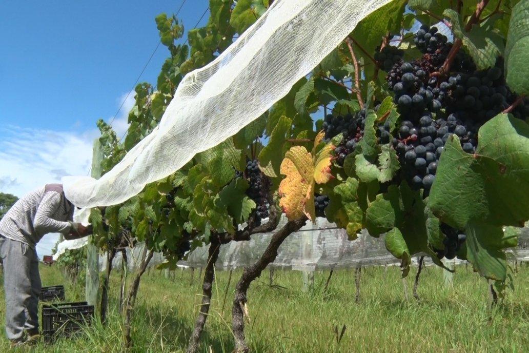 Miden que una hectárea de uva genera 5,6 veces más dólares que otra de soja.