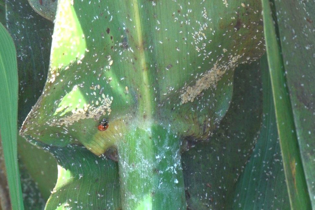 El insecto deja una melaza que complica incluso la acción de cosecha.