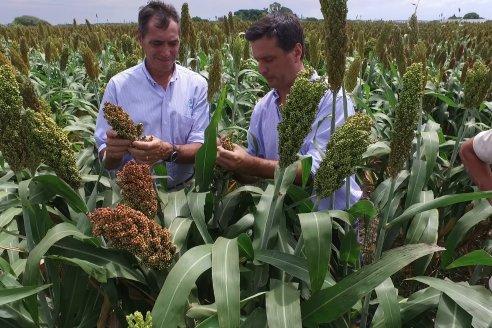 El gobierno busca sus propias estadísticas para sorgo y maíz