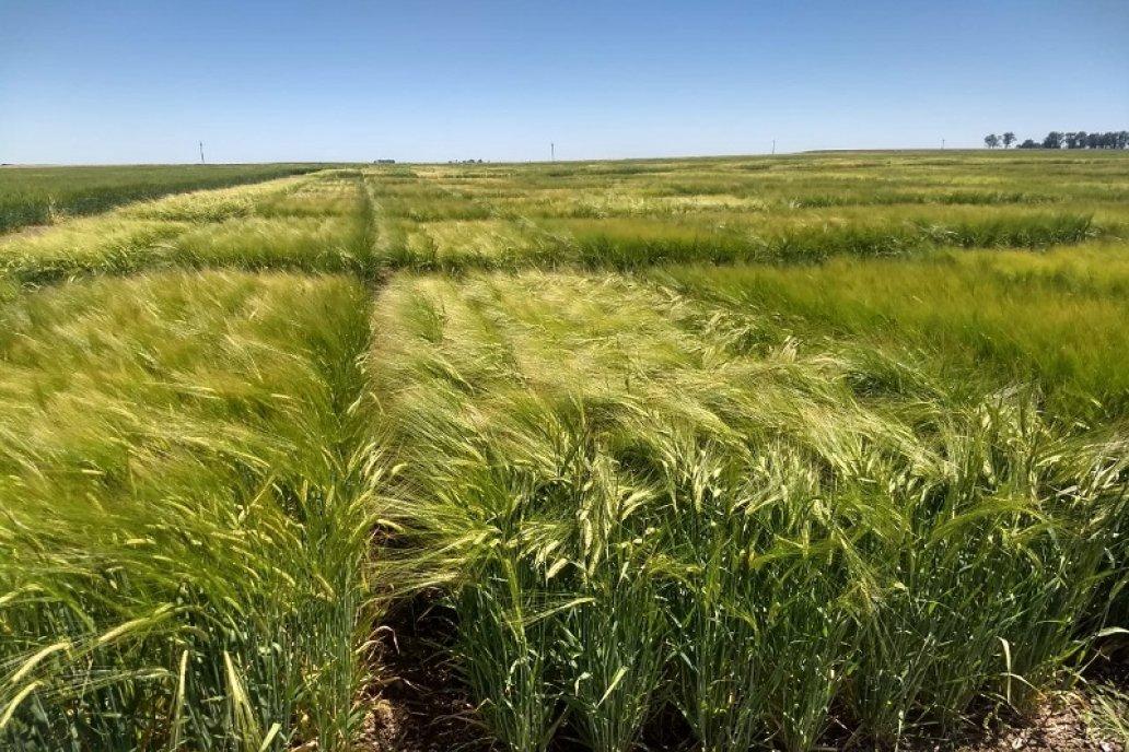 Los aspirantes deben plantar cebada, trigo o legumbres.