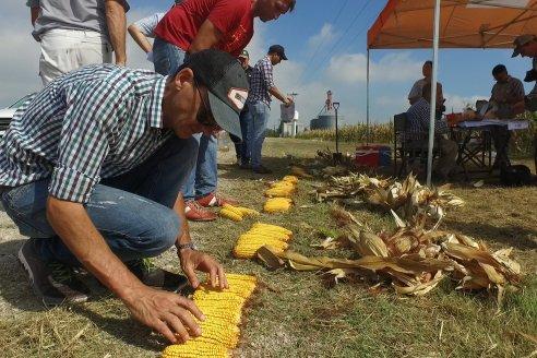 En lotes bien manejados se esperan rindes maiceros acordes al impacto de la seca en Entre Ríos