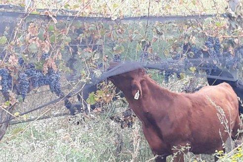 Viñatero mendocino desolado le da de comer sus uvas a los animales