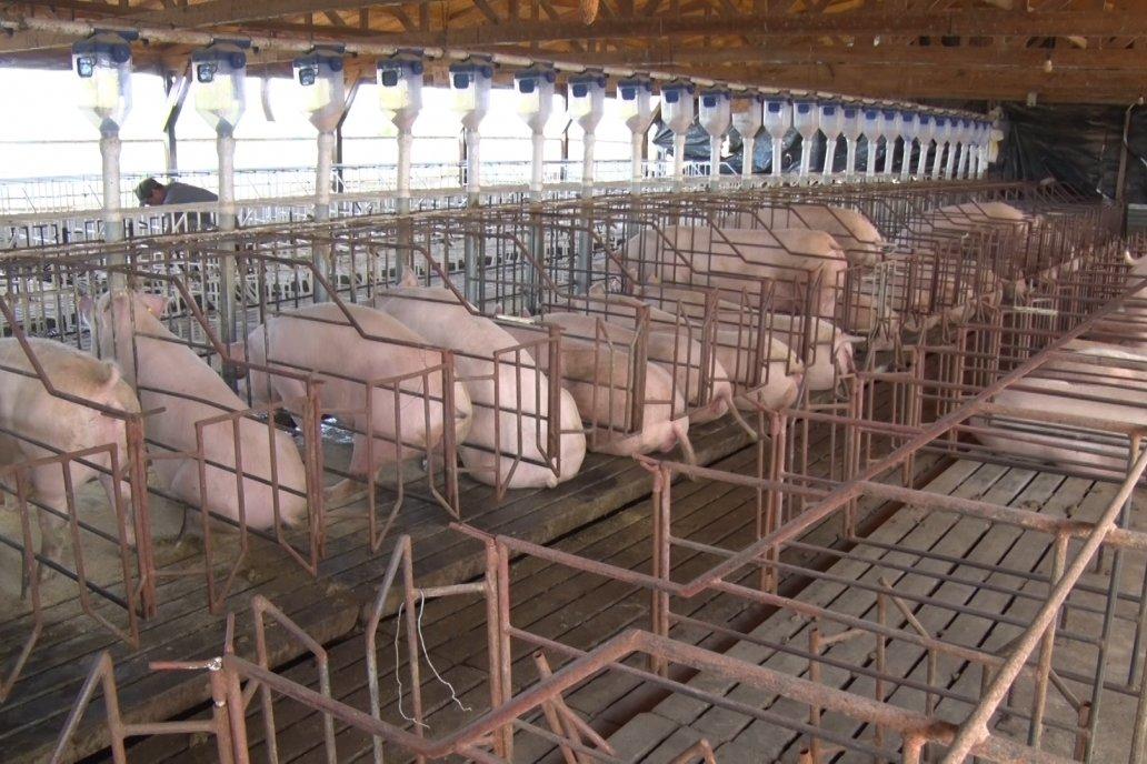 Visita a Estableciento La Delfina - Una producción mixta que encontró en el cerdo un agregado de valor